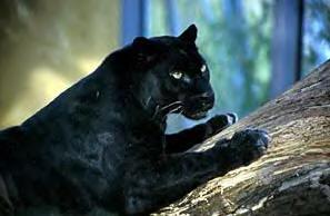 Begleiter der Mesa: Der Panther