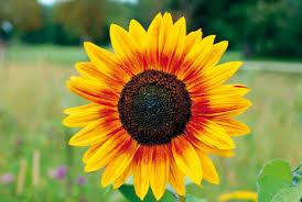 Seelenbild Sonnenblume