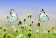 Schmetterlinge auf gleicher Augenhöhe