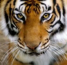 Der Tiger: Ausdruck für Souveränität