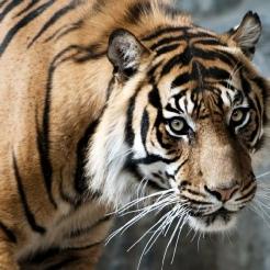 Tiger als Symbol für Gefahr