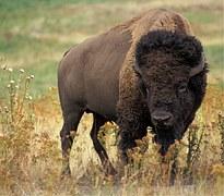 Tatanka - Der Büffel