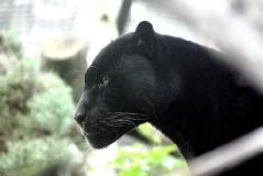 Panther: Spirit in der Mesa