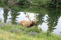 Hirsch am Wasser